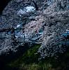 6 (EH500) Tags: 日本 東京 深谷 下台池公園 japan ふかやし fukayashi sakura film rvp50 桜 櫻花 底片 膠卷 120 cherry blossom nikoncoolscan nikoncoolscanls9000ed coolscan9000ed hasselblad 503cx 哈蘇 銀鹽 slr fuji 富士 rvp color fujichrome velvia fujichromevelvia slide 正片