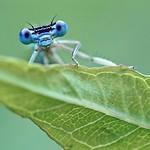 A White-legged Damselfly - Platycnemis pennipes (m) thumbnail