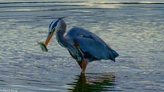 Great Blue Heron with Perch-Esquimalt Lagoon (david byng) Tags: esquimaltlagoon spring 2017 vancouverisland pacificocean heron canada britishcolumbia beach victoria colwood ca