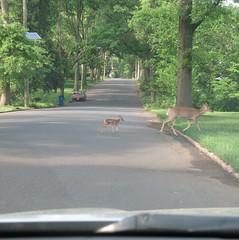 Saturday Colours - Crossing Parkwood Drive (Pushapoze (NMP)) Tags: deer babydeer street crossing