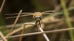 Dragonfly - libelle (schreudermja) Tags: dragonfly libelle natuur nature insect nikond800e martyschreuder thenetherlands nederland breda mastbos bos woods forest