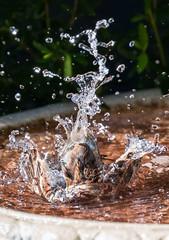 Bird Bath Fun (Rod Burgess) Tags: act canberra wright sparrow australia bird canoneos5dmarkiv canon100400f4556lisii birdbath water