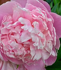 "Peonies in My Garden 2017 (EDWW day_dae (esteemedhelga)™) Tags: nature season flowers plants bloom botany nursery parks blossom perennial annual bud cluster floret floeret efflorescence seedling biennial greenery bouquet posy rosette natura ""mothernature"" ""greatmother"" ""damenature"" vegetation horticulture flora botanical juncture natural beauty creation siring passion sprout esteemedhelga edww daydae garden relax comfort"