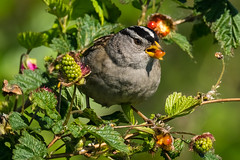 White-crowned sparrow (mjeedelbr) Tags: whitecrowned sparrow