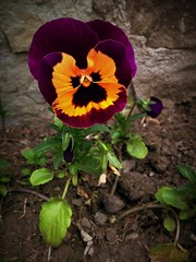 Pansies (Anna Gelashvili) Tags: цветы анютиныглазки flowers garden pansies flower цветочки сад цветок plant soil почва ყვავილი ყვავილები leaf лист растение იასამნისფერიყვავილი