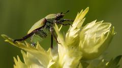 On the way to the top (FocusPocus Photography) Tags: goldstaublaubkäfer skarabäus scarabbeetle käfer beetle insekt insect tier animal pflanze plant makro macro hoplia argentea