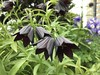 Fritillaria camschatcensis - Kamchatka lily(黒ユリ) (rmcgabhainn) Tags: fritillary liliaceae fritillaria fritillariacamschatchensis lily black blacklily blackflower inflorescence sixpetals japan hokkaido 黒ユリ forb herbaceous