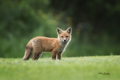 "Fox Kit ""EXPLORED"" 05.24.17 #30 (Mike Bader) Tags: ohiowildlife redtailedfox fox"