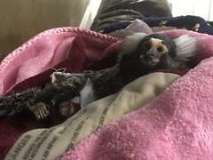 Spanky being lazy (Todd Money) Tags: spanky monkey marmoset