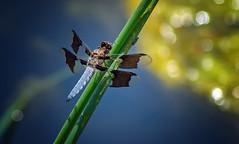Common Whitetail Skimmer (Black Hound) Tags: sony a500 minolta odonata dragonfly commonwhitetailskimmer hiberniapark
