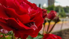 Дъждовна свежест с аромат на рози. (saromon1989) Tags: rose flower drop rain raindrop macro dof red nature