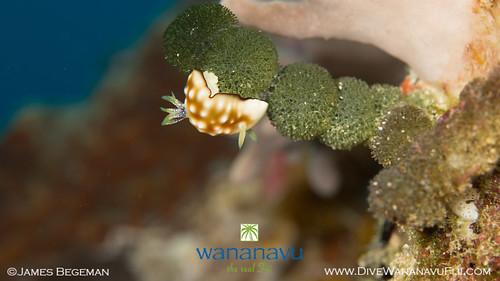 Wananavu Dive