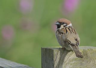 Tree Sparrow, Passer montanus