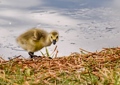 """I said no more pictures!"" (Wendy Oor) Tags: bird birds gees goose canadagoose goslings gosling nature pond lake water baby outdoors grass cute yellow green spring"