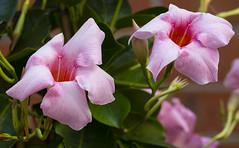 Sundaville. (ost_jean) Tags: sundaville fleurs bloem nikon d5200 tamron sp 90mm f28 di vc usd macro 11 f004n ostjean