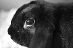 KERUBIM 3 (EL JOKER) Tags: rabbit lapin cony les allummers prod gimp nikon d7000 afs dx nikkor 35mm f18g noir et blanc black white 2017 linux monochrome potrait photo photographie photography png cc by nc nd creative commons animal pet ankama jeu game serie tv kerubim