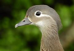 Mandarin duck (female) (PhotoLoonie) Tags: duck mandarinduck wildlife nature