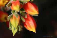 Boccioli di pianta grassa - Echeveria Harmsii (francescociccotti1) Tags: allnaturesparadise piantegrasse fioritura