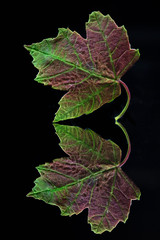 Tiny Maple Leaf (KellarW) Tags: leaf autumn maple colorful spring tree bright mapleleaf reflection reflected leaves green onblack greenandred redredandgreen blackacrylic