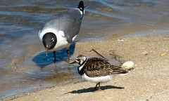 Ruddy Turnstone & Laughing Gull (Black Hound) Tags: sony a500 minolta bird birds edwinbforsythenwr gulls laughinggull ruddyturnstone