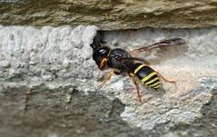 this made more sense after flickr conversation (conall..) Tags: patio wall mystery trying make sense mason wasp ancistrocerus sp potterwasp