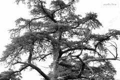 tree (Janelle Tong) Tags: janelle tong photography black white california state park nature tree