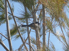 Superb fairy wren (Figgles1) Tags: p1030332 victoria royalbotanicgardenscranbourne rgb royal botanic garden gardens cranbourne bird birds superbfairywren superb fairy wren wrens fairywren fairywrens blue
