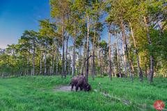 Bison Loop (Kasia Sokulska (KasiaBasic)) Tags: canada alberta elkislandnp evening bisonloop nature spring landscape bison forest wildlife