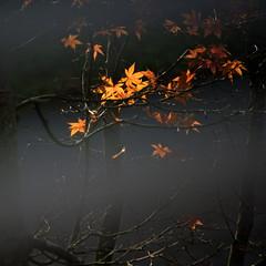 Remnant (graeme37) Tags: thegarden garden wiinter wiintergarden acer maple lastlight