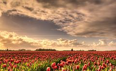 A sea of tulips. (Alex-de-Haas) Tags: oogvoornoordholland 1635mm d750 dutch europe hdr holland nederland nederlands nikkor nikon noordholland thenetherlands clouds landscape landschap lucht nature natuur skies sky sol sun sundown sunset tulip tulipfields tulipa tulips tulp tulpen tulpenvelden wolken zon zonsondergang