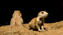 Prairie Dog & Pup (JLyn Nature Photography) Tags: nationalzoo fonz smithsonianinstitute adobe photoshop pscc canon 70d prairiedog