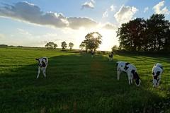 20170604 35 Leutingewolde (Sjaak Kempe) Tags: 2017 zomer summer nederland niederlande netherlands sjaak kempe sony dschx60v leutingewolde koe koeien cow cows