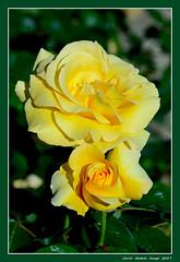 Rosa Glorius (cienne45) Tags: glorius rosaglorius carlonatale cienne45 natale rosa roseto rose garden rosetodinervi nervi genova rosegardennervi