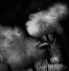 échevelé (E r i c C) Tags: dandelion blanc noireetblanc blackandwhitephotography flowers fleurs white black