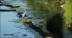 in attesa (imma.brunetti) Tags: uccelli fiume acqua vegetazione mugnone toscana firenze piume becco zampe ali alghe airone natura