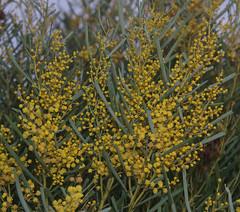 Acacia chrysella, Narembeen, WA, 01/06/17 (Russell Cumming) Tags: plant acacia acaciachrysella mimosaceae narembeen westernaustralia