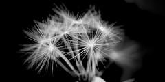 Ready to fly (A. Johansson) Tags: monochrome macro maskros dandelion vit white stockholm sverige sweden svart black