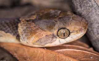 serpente-olho-de-gato-anelada (Leptodeira annulata)