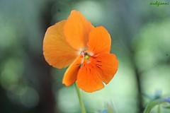 orange petals (archgionni) Tags: natura nature fiori flowers foglie leaves petali petals verde green arancione orange macro picturesque