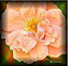 Ostentatious Rose (jgbirdmangrossinger) Tags: ostentatiousroseshowy pretentious conspicuous flamboyant gaudy brash vulgar loud extravagant fancy ornate overelaboratepeachcolor