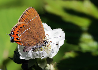 Black-Hairstreak