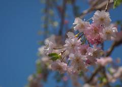 Pink on blue (elenaleong) Tags: tokyo17 pinkblossom sakura cherryblossom elenaleong oshinohakkai