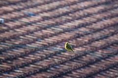 like a bird... (@petra) Tags: bird wire roof seaside memories summer nikon tribute leonardcohen