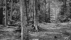 Lupi (MarcoAgustoniPhotography) Tags: trentino italia arte val sella natura bosco legno bianco e nero