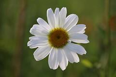 Marguerite émoi.... c est une belle histoire ! (Callie-02) Tags: macro extérieur jardin marguerite bokeh canon profondeurdechamp lumière rosée fleur