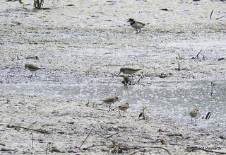 Semipalmated Plover, Least and Semipalmated Sandpiper_N8929