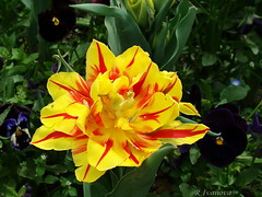 Yellow and a little red (R_Ivanova) Tags: nature flower flowers spring tulip garden plant outdoor colors color yellow red sony rivanova риванова природа цветя лале пролет