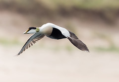 Male Eider... (Gerry Gutteridge) Tags: eider canon eiderduck seaduck wildlife sea ocean water ©gerrygutteridge
