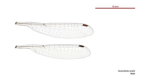 Austrolestes analis male wings