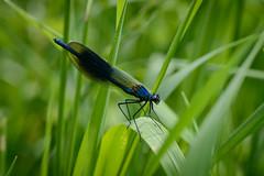 Gebänderte Prachtlibelle (G_Albrecht) Tags: insect odonata pterygota zygoptera fluginsekten gebaenderteprachtlibelle insekt kleinlibellen libellen prachtlibellen tier umwelt